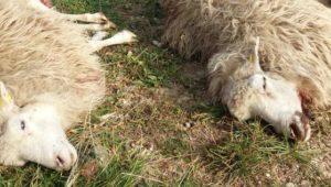 Dutzende Schafe und Ziegen von Wölfen gerissen