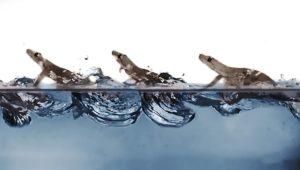 Eigentlich zu schwer dafür: Wie Geckos übers Wasser laufen