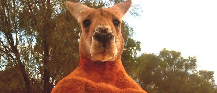 Australien trauert um Bodybuilder-Känguru Roger
